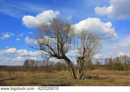 leafless tree on meadow at sunny spring day