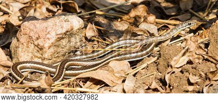 A Mildly Venomous Western Yellow-bellied Sand Snake (psammophis Subtaeniatus) Lying On The Ground Wi
