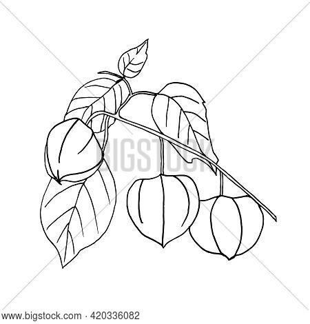 A Hand-drawn Branch Of Physalis With Fruit And Leaves In The Style Of Doodles. Vector Illustration.