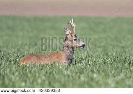 Old Roe Deer In A Green Wheat Field