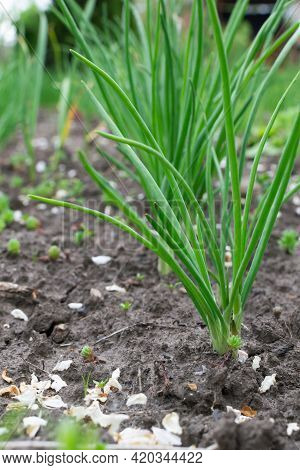 Many Spring Onions In The Field Are Turning Green. Green Vegetable. Spring Time.