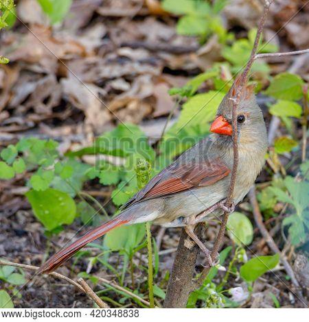 Close Up Of A Female Northern Cardinal (cardinalis Cardinalis) Perched During Spring. Selective Focu