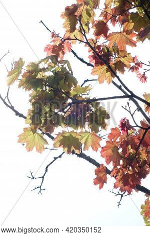 Vertical Portrait Of Backlit Maple Leaves Turning Red And Yellow