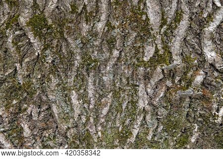 Close Up Of Rough Tree Bark With Green Moss