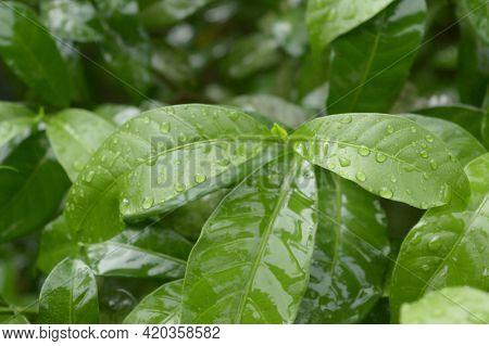 Falling Summer Monsoon Rain On Green Tree Plant Leaf. Raindrop On Leaves Picture. Beautiful Rainy Se