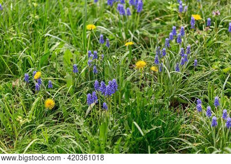 Meadow Flowers In Green Meadow Grass. Spring Flowers Muscari Hyacinths And Dandelions. Concept Beaut