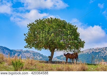Two Horses Hide In Shade Of Single Large Tree From Sun Heat In Noon Among Hills