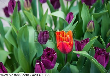 Beautiful Colorful Flowers Blooming, Amsterdam, The Netherlands