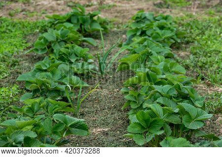 Fragaria Vesca. Strawberries. Beautiful Herbal Abstract Background Of Nature. Spring Landscape. Bush