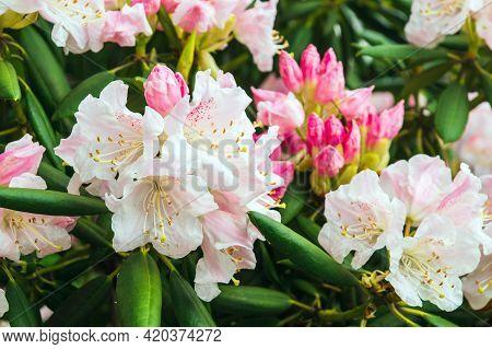 Pink Azalea Flowering Plant Blooming In Park. Azalea Festival. Summer Or Spring Background.