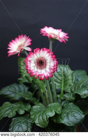 Gerbera With White And Pink Petals. Indoor Flowering Plant. Petals With A Gradient