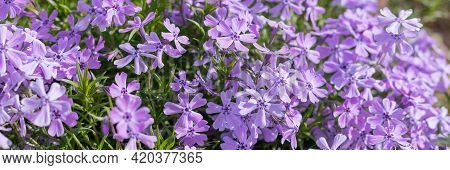 Creeping Phlox , Phlox Subulata, Also Known As The Moss Phlox. Flowering Plant.flowerbed With Purple