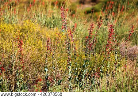 Colorful Wildflower Blossoms During Spring On A Chaparral Woodland Taken At The Rural Mojave Desert