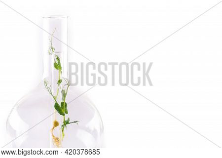 Microgreens Of Green Peas In A Large Glass Chemical Flask On A Light Background With A Place For Tex
