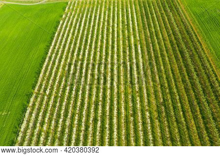 Growing Fruit Trees On An Industrial Scale, Large Orchard. The Trees Grow In Neat Rows With A Grassy