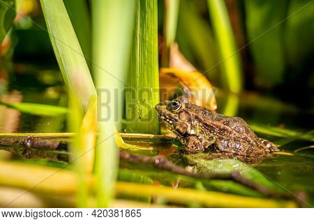 One Pool Frog Is Swimming In The Vegetation Area. Pelophylax Lessonae.