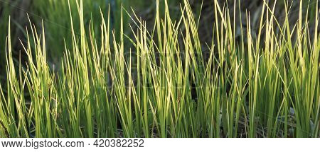 Close Up Of Fresh Dense Grass On A Sunny Day