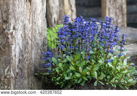 Ajuga Reptans Commonly Known As Purple Or Blue Bugle,  Whole Plant In Flower With A Blurred Backgrou
