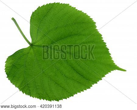 Isolated Green Leaf. One Green Leaf Of A Round Shape On A White Background.