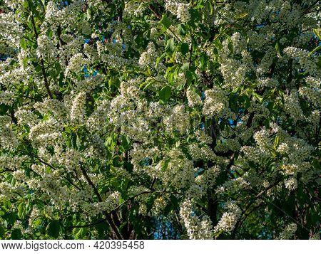 Blooming White Prunus Padus Tree With Green Foliage. White Flowers Of Prunus Padus. Flowering Period