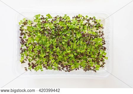 Micro Green Sprouts Of Red Mizuna In Growing Box. Fresh Microgreens Superfood On White Background. M