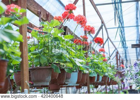 Red Geranium Flowers. Sunlight. Beautiful Little Flower Of Geranium. Floristry. Ivy-leaf Pelargonium