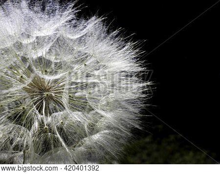 Part Of Dandelion Flower Head With Seeds Closeup On Dark Background