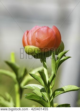 Closeup View Of The Head Of A Red-yellow Peony Against A Background Of Green Foliage