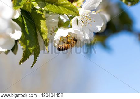 Macro Close-up Bee Pollinates Flowering Apricot Tree, Collects Pollen. Spring Flowering Of Fruit Tre