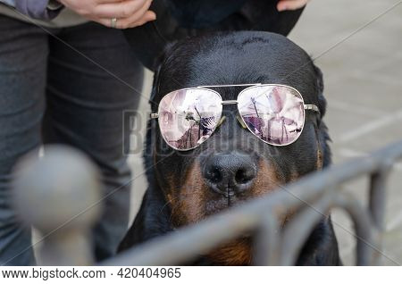 Portrait Of A Dog With Sunglasses Behind A Fence. An Adult Male Rottweiler Sitting And Looking Inten