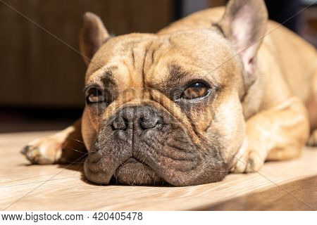 Beautiful French Bulldog Dog Lying Down And Looking Up. Family Dog