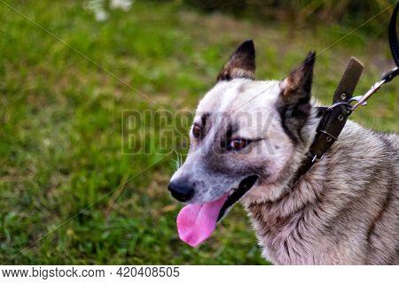 Defocus Close-up Of The Smiling Husky's Face, Siberian Laika. Yellow Grey Hair On The Head Of A Pet.