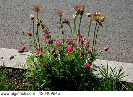 Spring Flower With Dense White Hair Called Pasque Flower Pulsatilla Vulgaris Rubra Buds And Leaves I