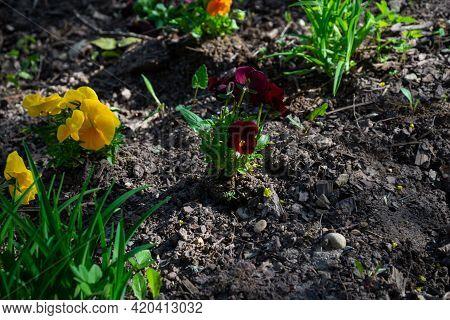 Pansy Plant At Garden,viola Tricolor Var. Hortensis,viola Tricolor