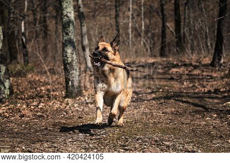 Dog Runs Fast In Park In Fall And Nibbles On Tree Branch. Happy Shepherd Face Front View. Beautiful