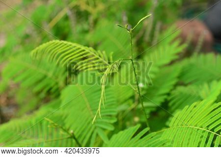Climbing Wattle, In Thailand The Feathery Shoots Of Acacia Pennata (cha Om) Are Used In Soups, Curri