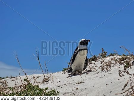 African Penguin Against The Blue Sky. A Black And White Seabird On A Sandy Hill With Sparse Vegetati