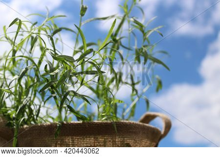 Tarragon In A Jute Bag In Front Of The Cloudy Sky