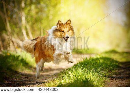 Happy Dog In A Summer Path. Shetland Sheepdog Is Running.