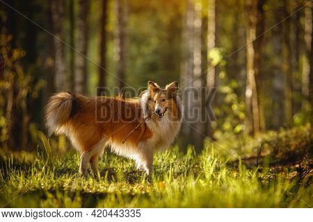Shetland Sheepdog With A Stick In Teeth. Dog At Forest Background.