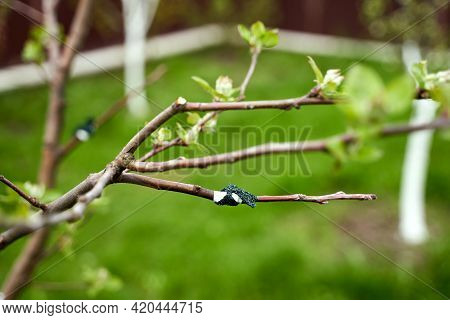 Fresh Cleft Graft On A Young Fruit Tree In A Spring Garden