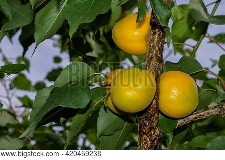 Apricot Garden. Branch Of An Apricot Tree With Apricots (latin: Prunus Armeniaca) On A Background Of