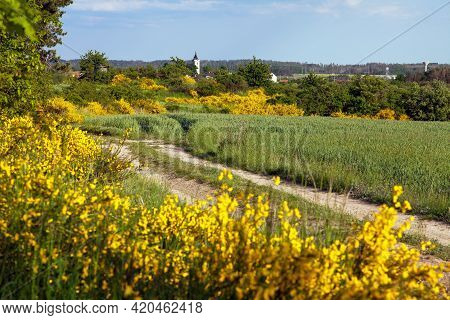 Cytisus Scoparius, The Common Broom Or Scotch Broom Yellow Flowering In Blooming Time, Village, Dirt