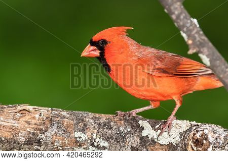 Northern Cardinal Perched On A Tree Branch