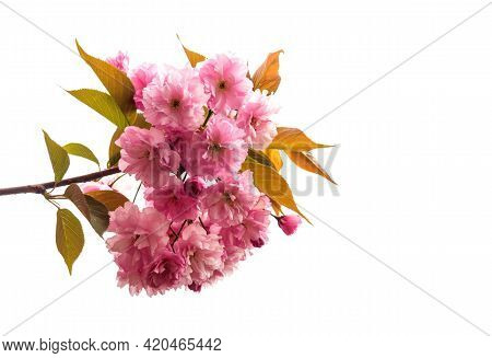 Sakura Branch. Blossoming Orchard In The Spring. Blooming Sweet Cherry Blossom Or Sakura Orchard Tre