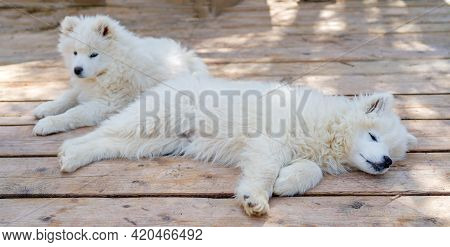 White Samoyed Husky Puppy. Friendly Dogs With Fluffy Coat.