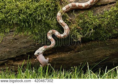 A Corn Snake (pantherophis Guttatus Or Elaphe Guttata) After Hunt Eating A Mouse. A Grey And. Brown