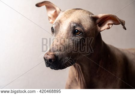 Close-up Portrait, Head Of Pretty Pale Unusual Dog. Indoors, Copy Space. Attentive Smart Look. Melan