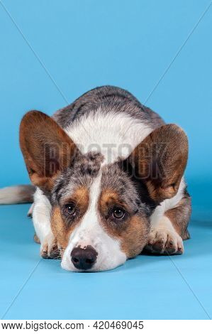 Welsh Corgi Cardigan Dog Of Unusual Merle Color, Lying Down On The Floor. Black, White, Ginger And G