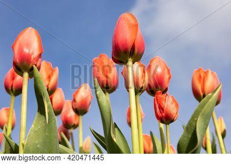Bottom View Orange Tulips Facing To The Blue Sky